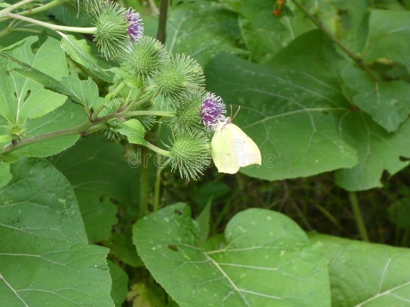 Farfalla gialla dello zolfo nella foresta fotografia stock libera da diritti