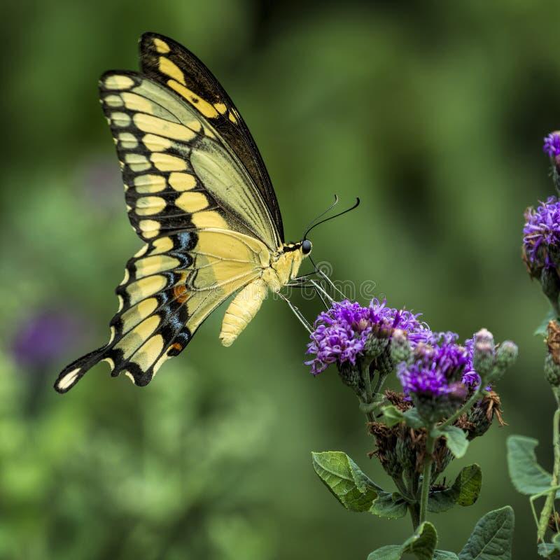 Farfalla gialla di coda di rondine immagini stock
