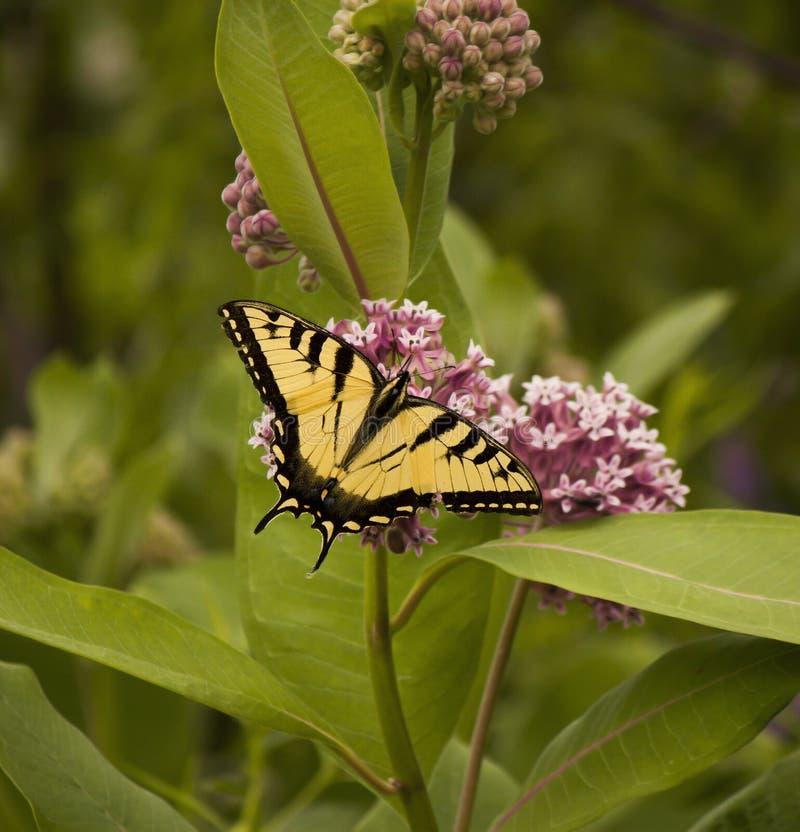 Farfalla gialla sui fiori selvaggi porpora fotografie stock libere da diritti