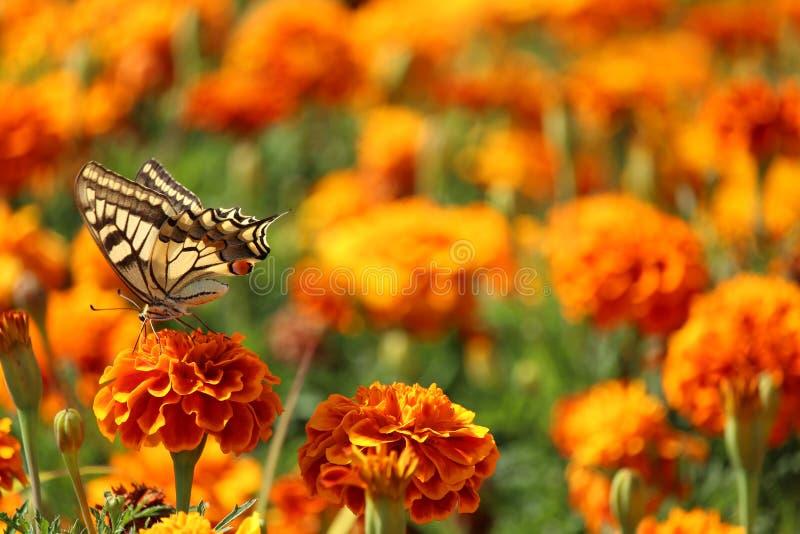 Farfalla gialla sul fiore, con il campo dei garofani su fondo fotografia stock