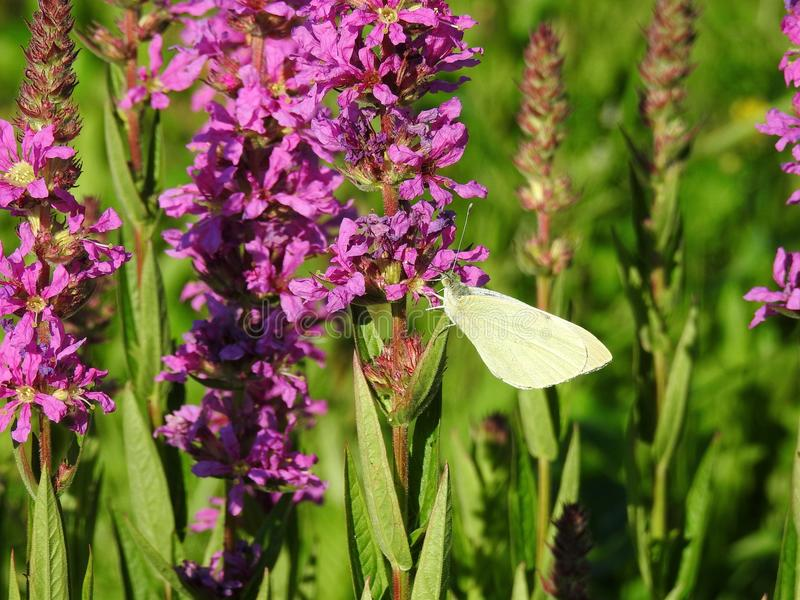 Farfalla gialla sul fiore rosa, Lituania fotografie stock libere da diritti