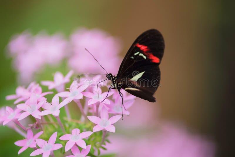 Farfalla Heliconus Melpomene sul fiore rosa fotografia stock