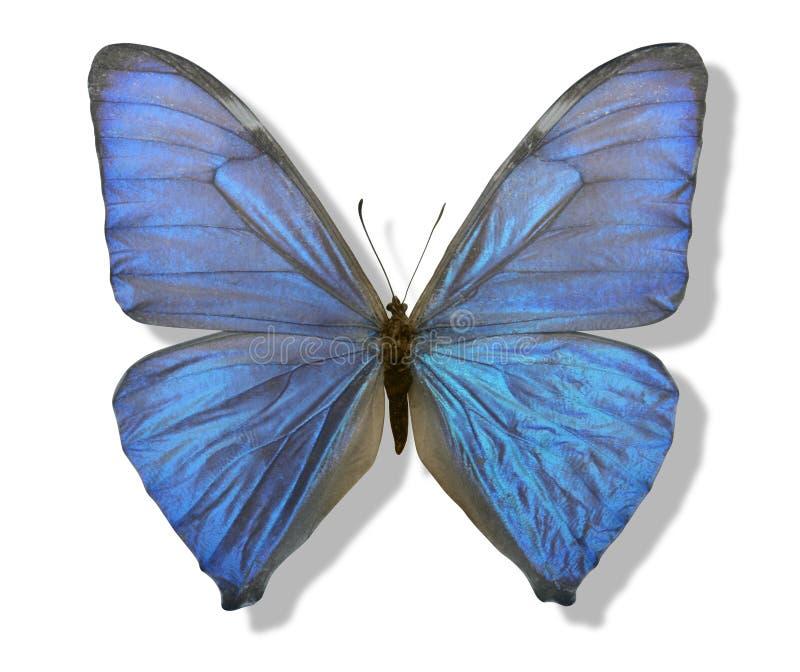 Farfalla iridescente blu immagini stock libere da diritti