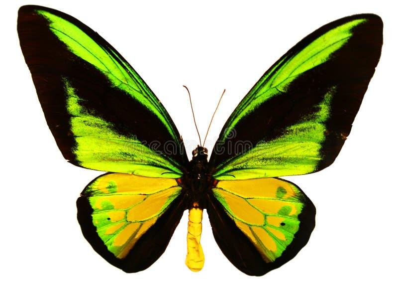 Farfalla isolata fotografia stock libera da diritti
