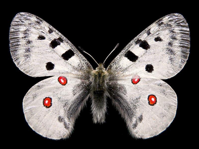 Farfalla isolata Apollo fotografie stock libere da diritti