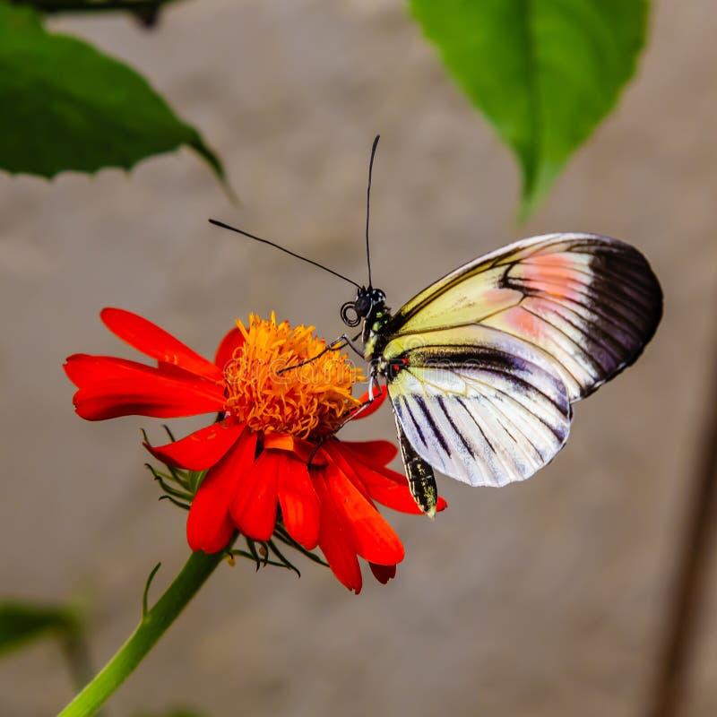 Farfalla longwing di erato di Heliconius che si appollaia su un fiore rosso fotografie stock