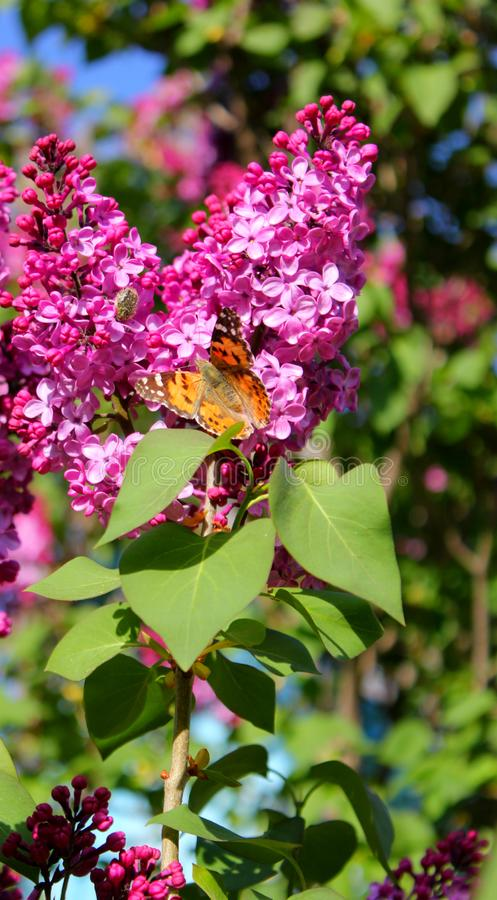 Farfalla luminosa sui fiori lilla fotografie stock libere da diritti
