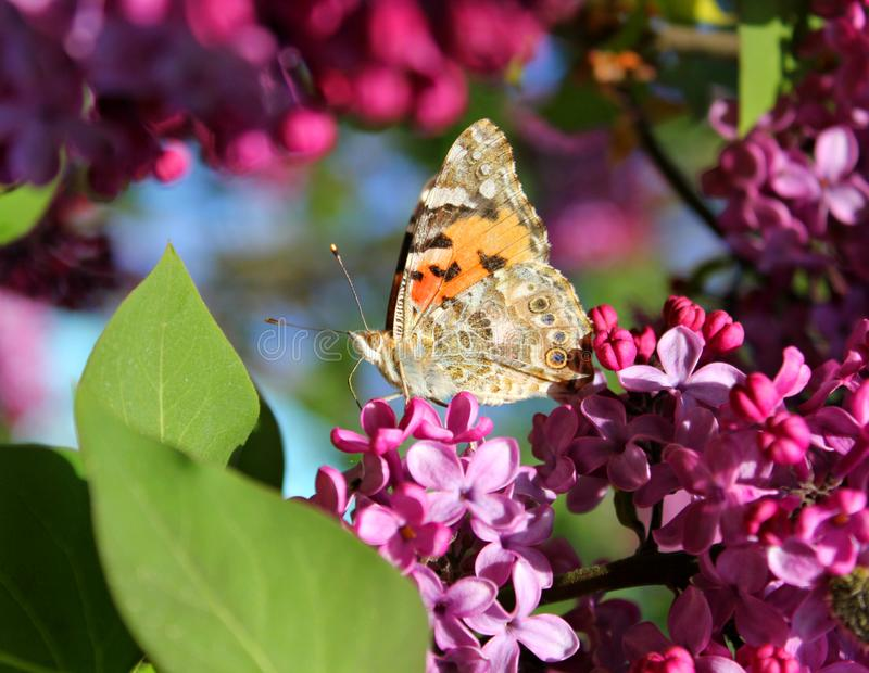 Farfalla luminosa sui fiori lilla immagine stock