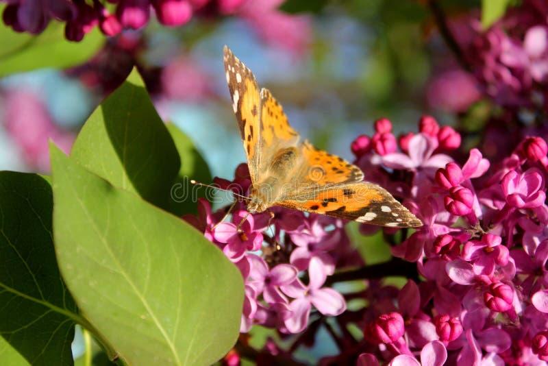 Farfalla luminosa sui fiori lilla immagini stock libere da diritti