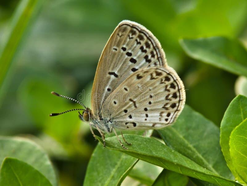 Farfalla macchiata sul foglio fotografia stock libera da diritti