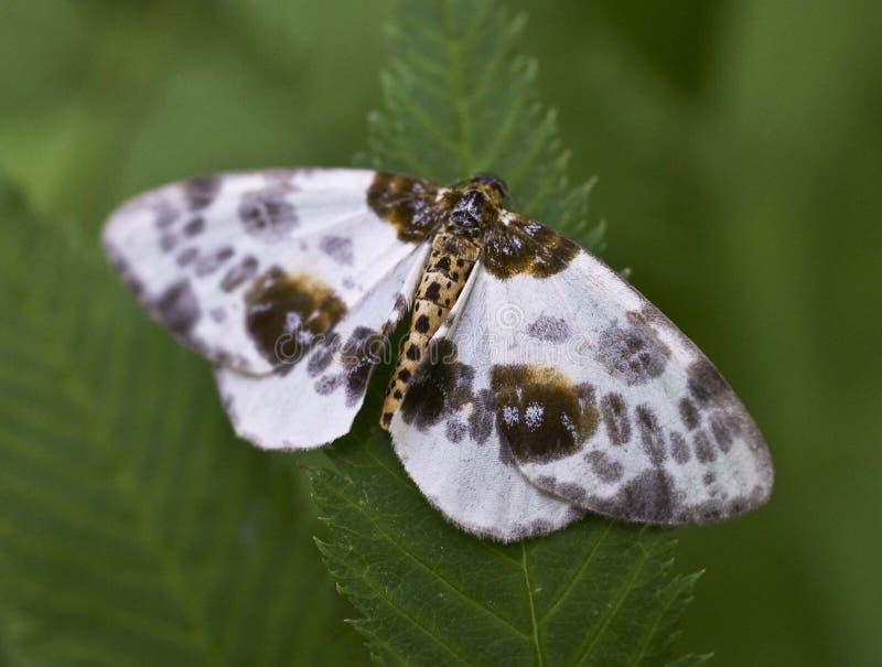 Farfalla marrone bianca in permesso verde fotografia stock