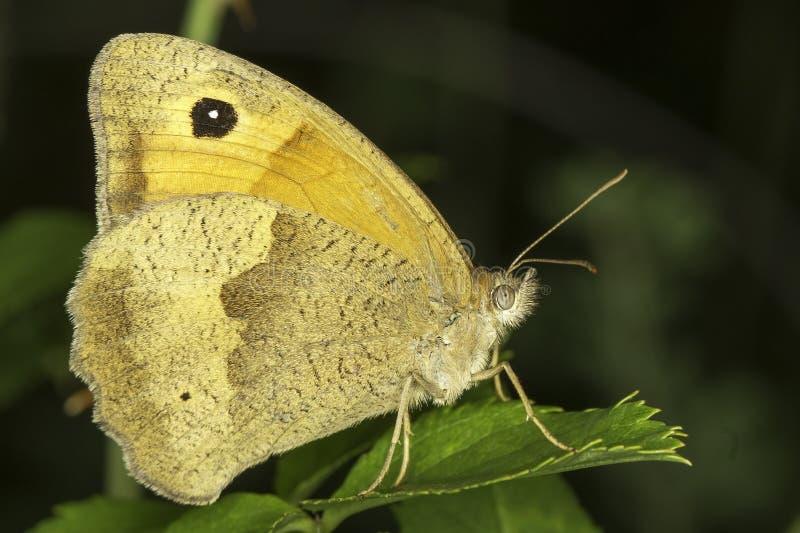 Farfalla marrone del prato, femmina/jurtina di Maniola fotografia stock