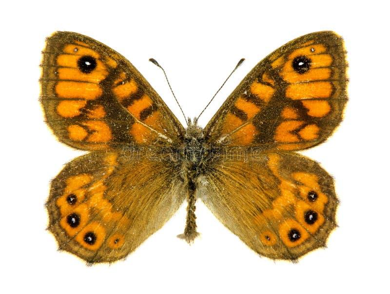 Farfalla marrone della parete immagini stock