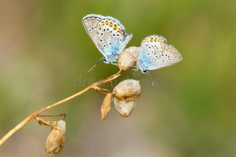 Farfalla-maschi blu comuni che riposano sui fiori asciutti fotografia stock