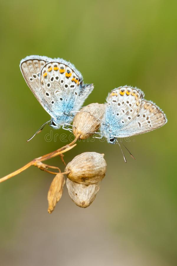Farfalla-maschi blu comuni che riposano sui fiori asciutti fotografie stock libere da diritti