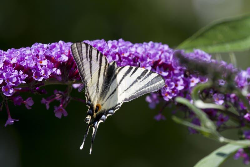 Farfalla meravigliosa! fotografie stock