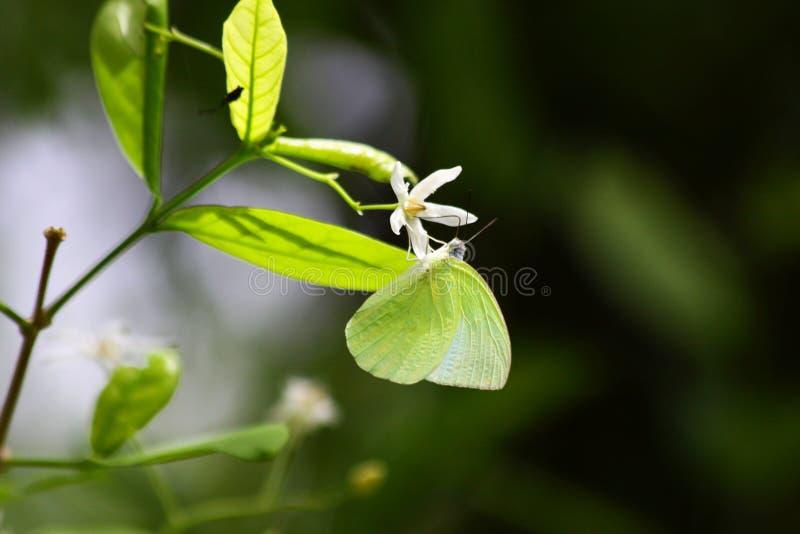 Farfalla migratore del limone su un fiore immagini stock