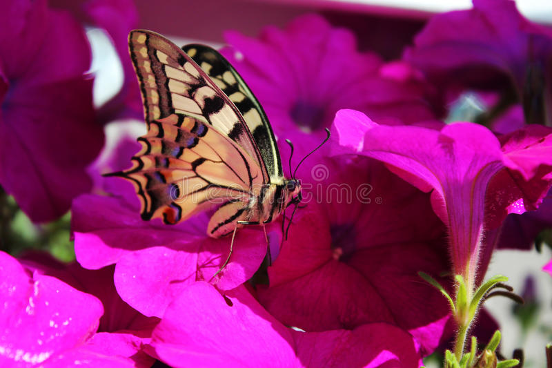 Farfalla molto bella che si siede sulle petunie immagine stock