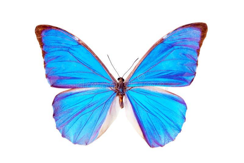 Farfalla - Morpho Anaxibia fotografie stock