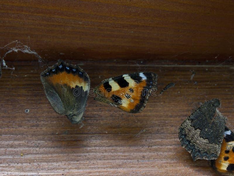 Farfalla morta bloccata in ragnatela immagini stock