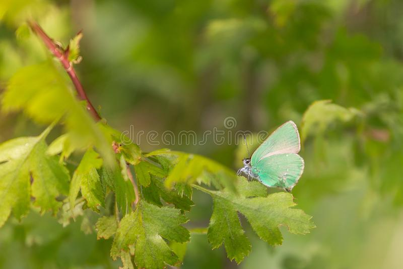 farfalla Mussola-alata di mattina fotografia stock libera da diritti