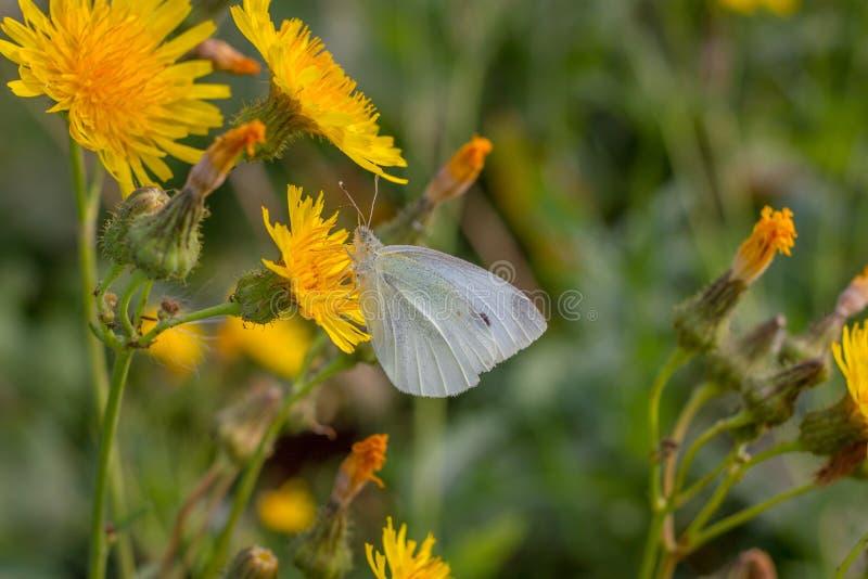 farfalla Mussola-alata di mattina fotografie stock