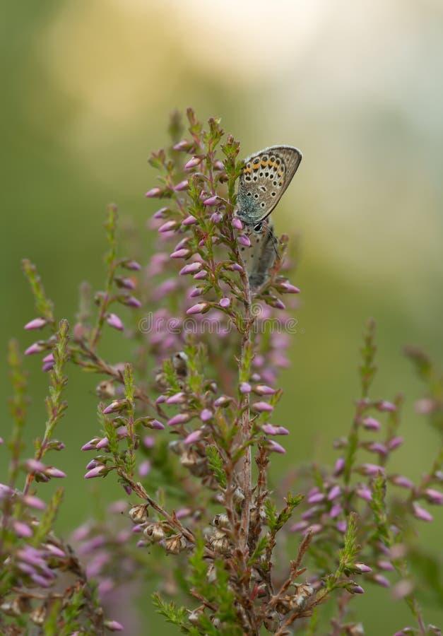 farfalla Mussola-alata, lycaenidae che riposa sull'erica fotografia stock libera da diritti