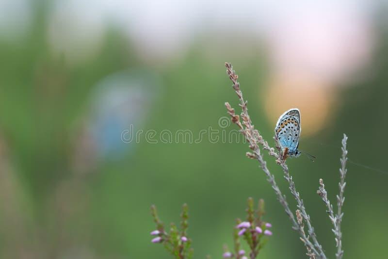 farfalla Mussola-alata, lycaenidae che riposa sulla pianta fotografia stock