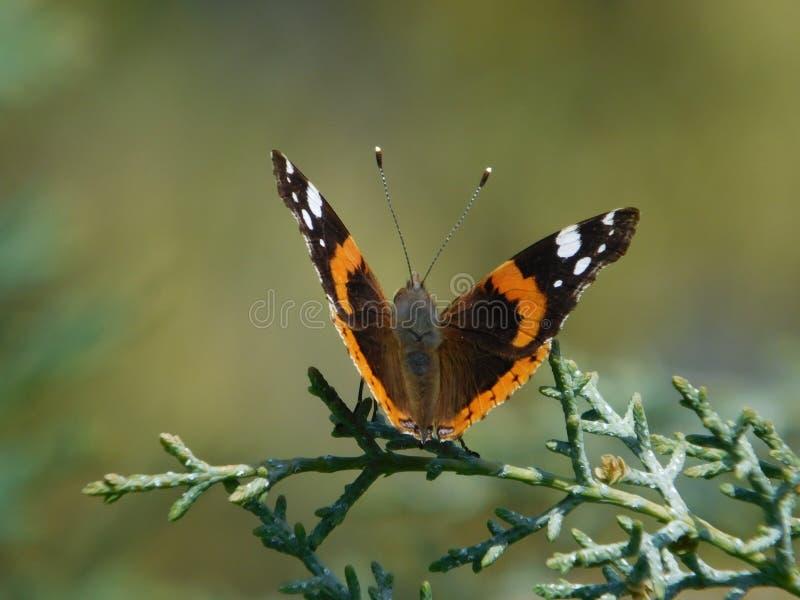 Farfalla in natura immagini stock libere da diritti
