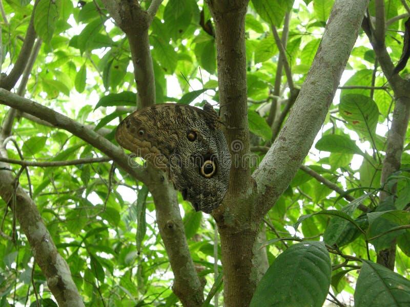 Farfalla nella foresta in Costa Rica fotografie stock