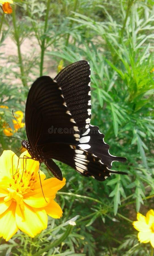 Farfalla nera fotografie stock libere da diritti