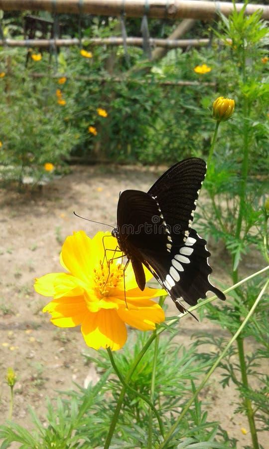 Farfalla nera fotografie stock
