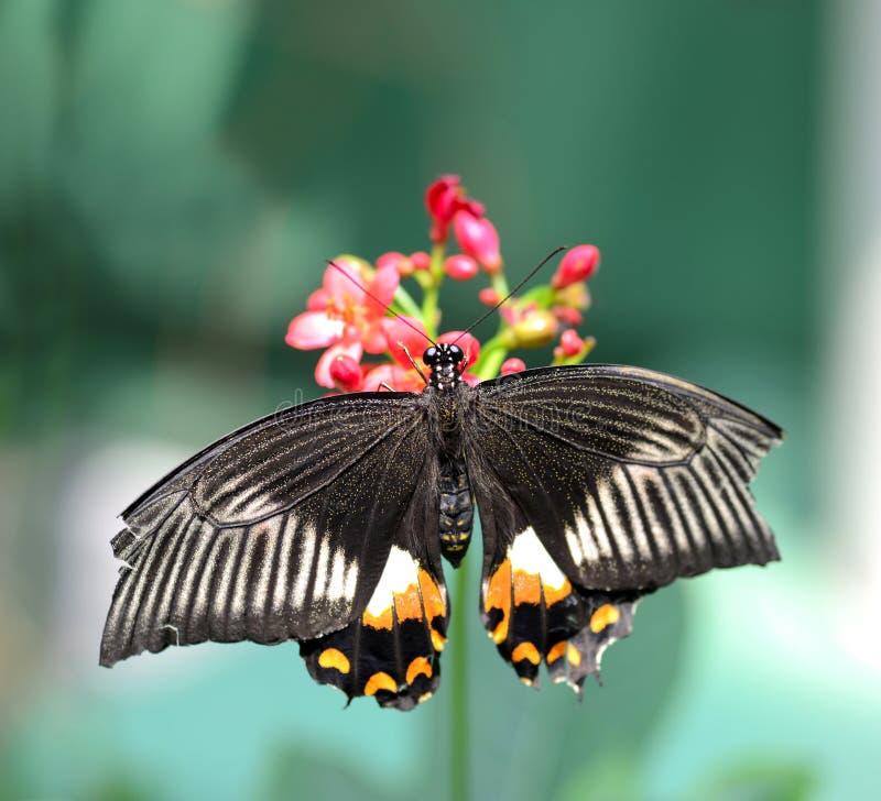 Farfalla nera con le marcature arancio e bianche immagine stock
