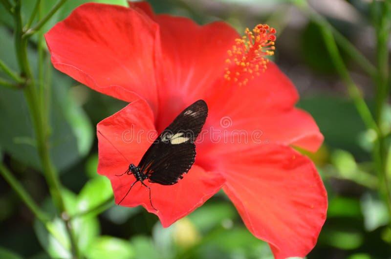 Farfalla nera delicata sull'ibisco arancio immagini stock libere da diritti
