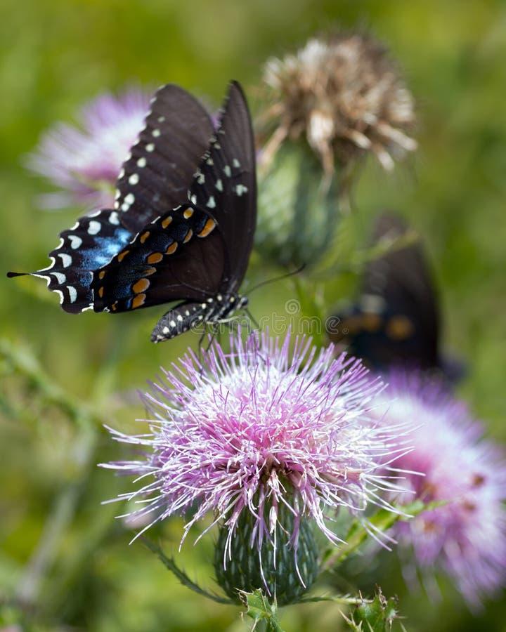 Farfalla nera di coda di rondine su un fiore del cardo selvatico fotografia stock libera da diritti