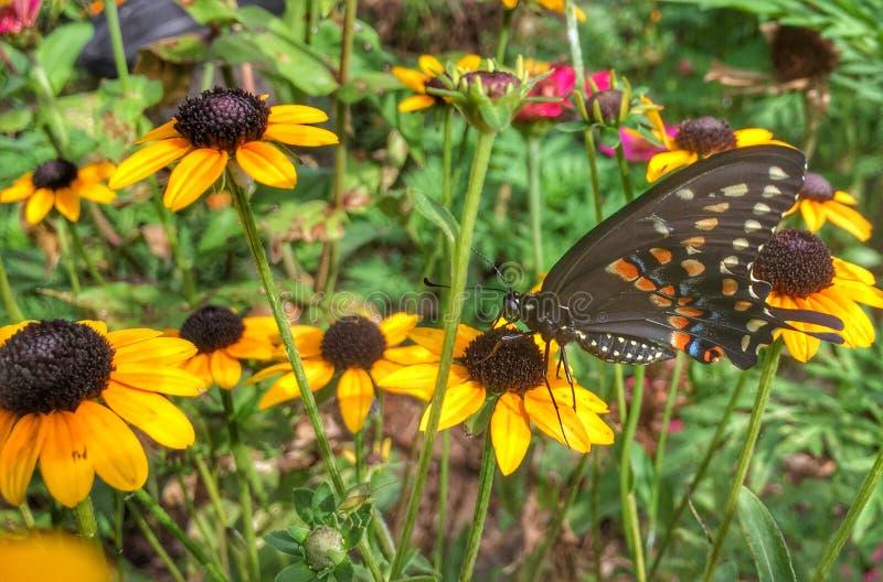 Farfalla nera di coda di rondine su Rudbeckia fotografia stock libera da diritti