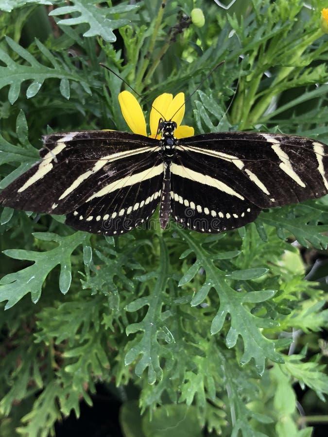 Farfalla nera e gialla fotografie stock libere da diritti