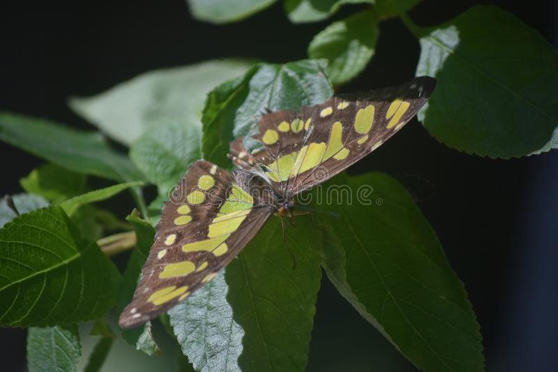 Farfalla nera e verde della malachite con le sue ali ampie fotografia stock libera da diritti