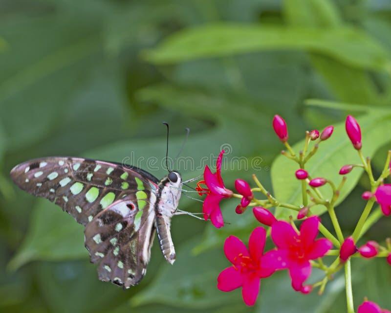 Farfalla nera e verde su un fiore rosa fotografia stock libera da diritti