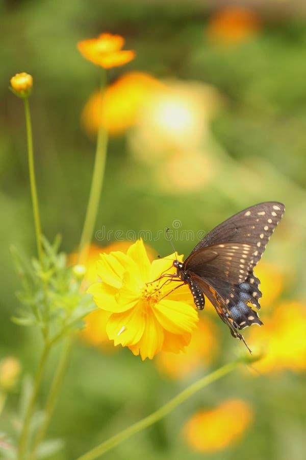 Farfalla nera maschio di coda di rondine con le ali stracciate immagini stock libere da diritti