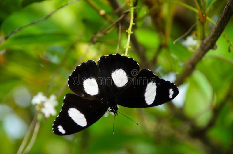 Farfalla nera in natura fotografia stock
