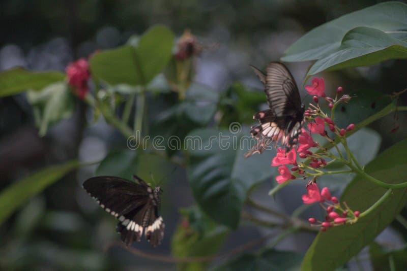 Farfalla nera posata sull'alimentazione rossa di un fiore e sul fondo vago fotografia stock