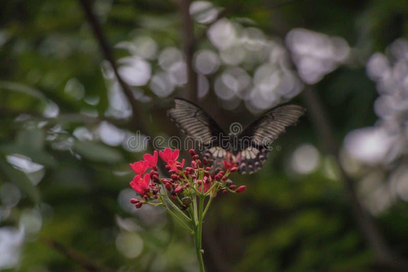 Farfalla nera posata sull'alimentazione rossa di un fiore e sul fondo vago fotografie stock libere da diritti