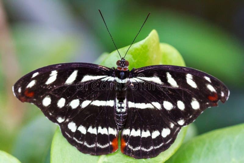 Farfalla nera su un foglio immagine stock libera da diritti