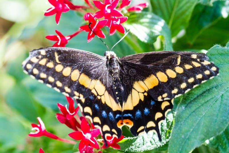 Farfalla nera su un foglio fotografia stock