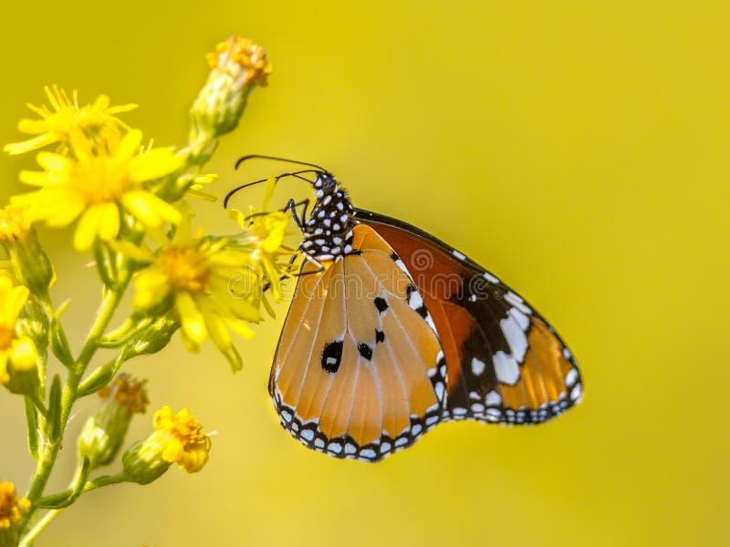 Farfalla normale della tigre appollaiata sul fiore immagine stock libera da diritti