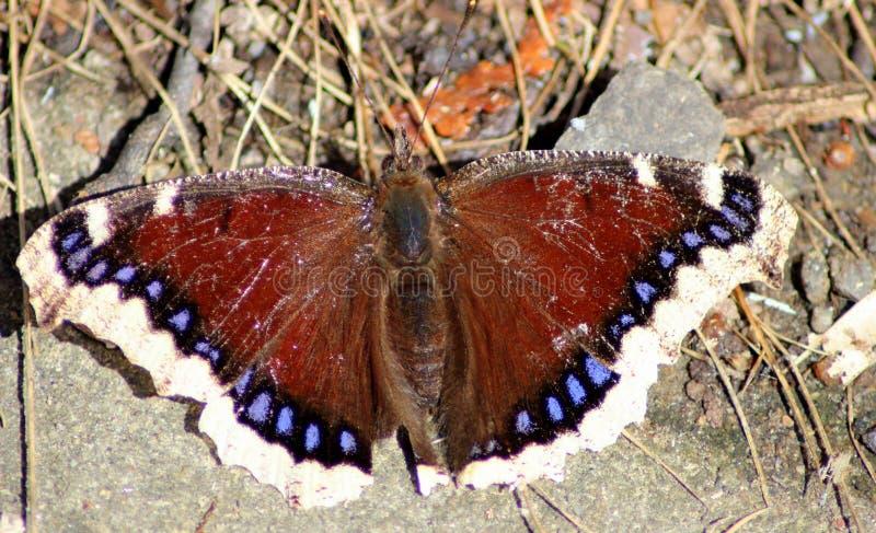 Farfalla - Nymphalis Antiopia fotografia stock libera da diritti