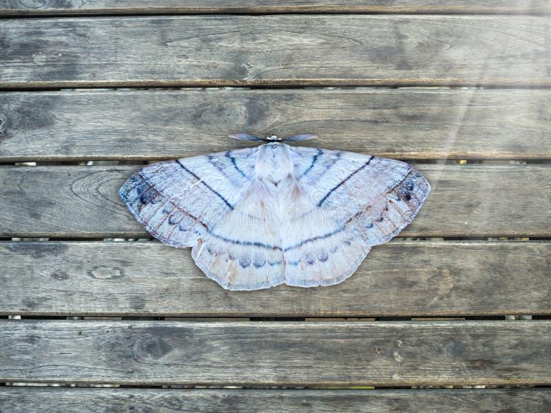 Farfalla o lepidottero di notte su legno fotografie stock libere da diritti