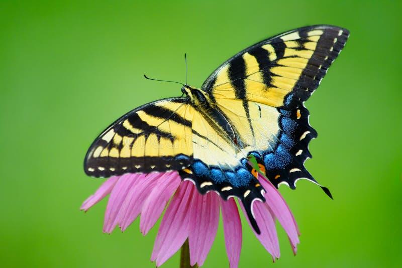 Farfalla orientale gialla di coda di rondine della tigre su coneflower porpora fotografie stock libere da diritti