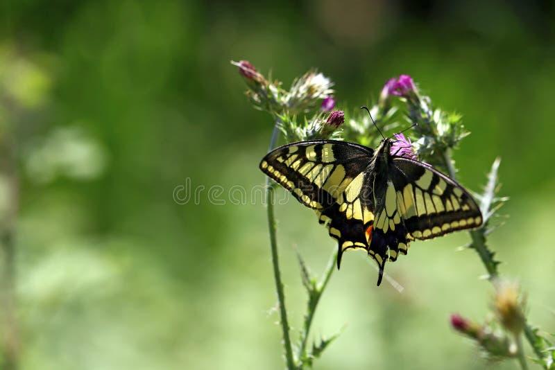 Farfalla pallida/pallida di coda di rondine sui fiori fotografie stock libere da diritti